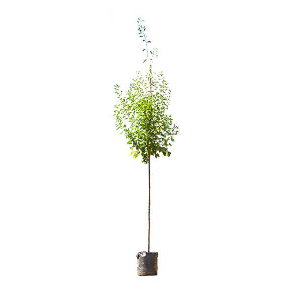 Grote pruimenboom 'Victoria'