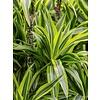 Dracaena Lemon Lime carrousel - hydrocultuur