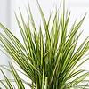 Dracaena Marginata Sunray 2-stam - hydrocultuur