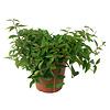 Vetplant Peperomia Angulata Rocca