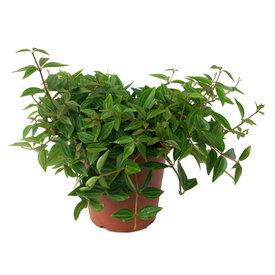 Fleur.nl - Vetplant Peperomia Angulata Rocca