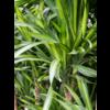 Dracaena Riki 3-stam - hydrocultuur