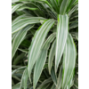 Dracaena Deremensis Compacta vertakt - hydrocultuur
