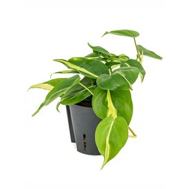 Fleur.nl - Philodendron Grand Brasil - hydrocultuur