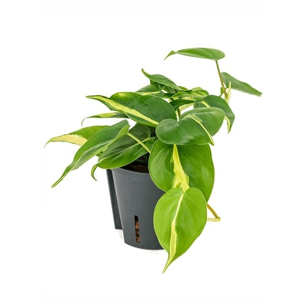 Philodendron Grand Brasil - hydrocultuur