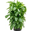 Schefflera Actinophylla Paradise - hydrocultuur