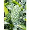 Aglaonema Stripes - hydrocultuur