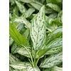 Aglaonema Silver Queen - hydrocultuur