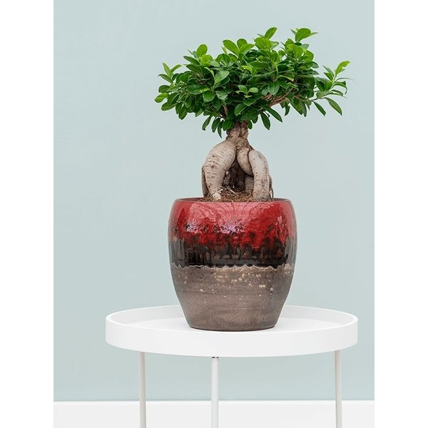 Ficus Bonsai microcarpa Compacta met pot