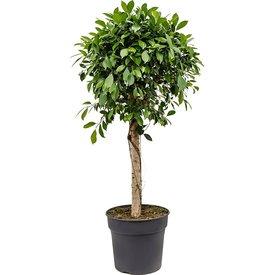 Fleur.nl - Ficus Bonsai rechte stam large