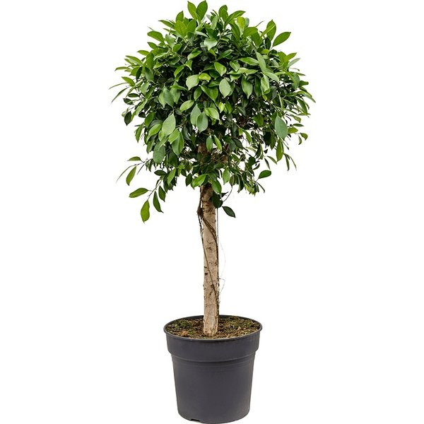 Ficus Bonsai Nitida op stam large
