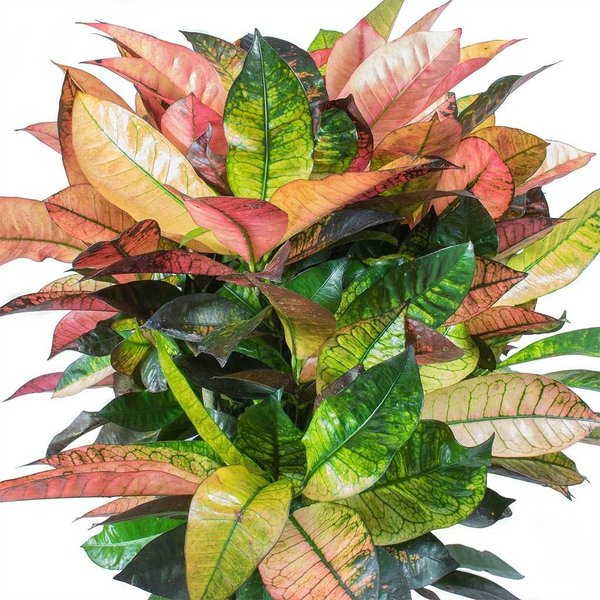 Croton (Codiaeum) Iceton vertakt- hydrocultuur