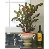 Croton (Codiaeum) Mamey vertakt - hydrocultuur