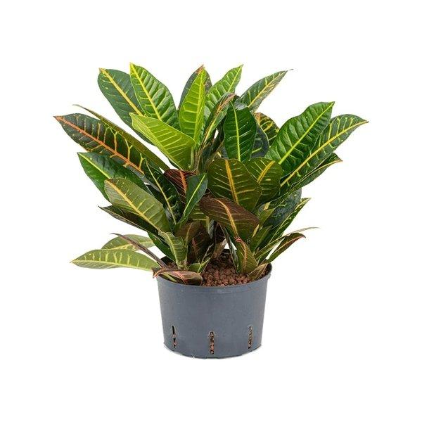 Croton (Codiaeum) Petra toef - hydrocultuur