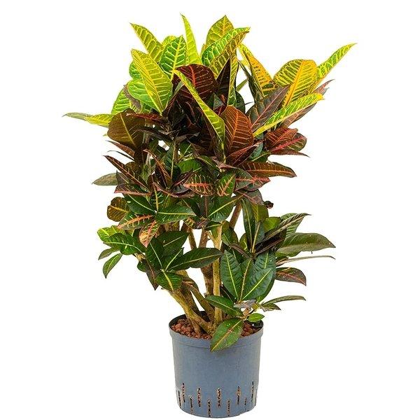 Croton (Codiaeum) Petra vertakt - hydrocultuur