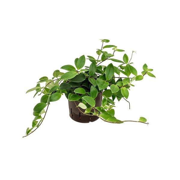 Aeschynanthus Lobbianus - hydrocultuur