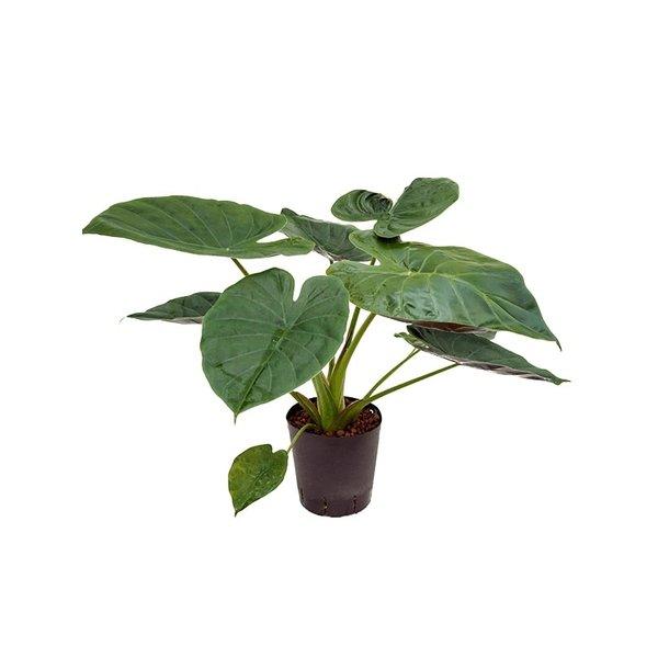 Alocasia Wentii - hydrocultuur
