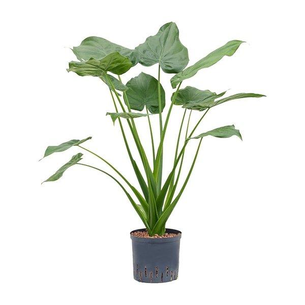 Alocasia cucullata - hydrocultuur