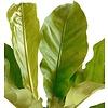Anthurium Jungle Bush - hydrocultuur