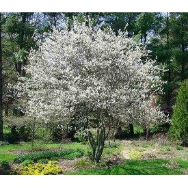 Fleur.nl - Krentenboom meerstammig (Amelanchier lamarckii)