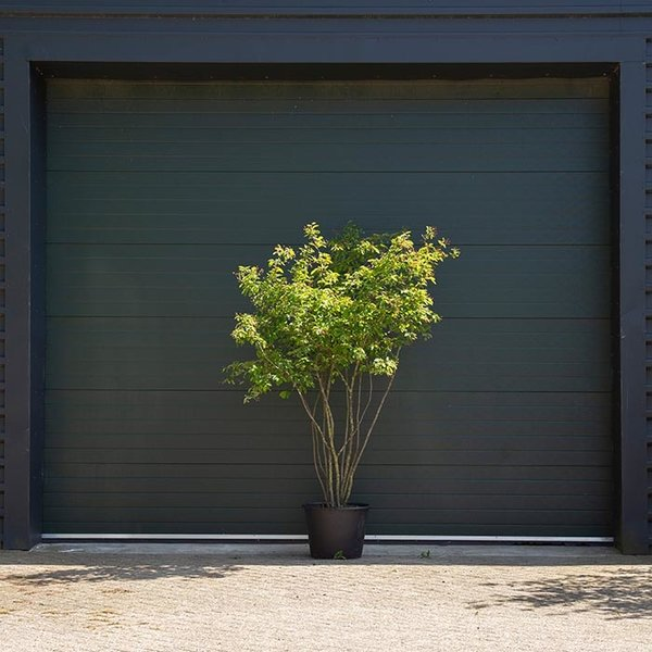 Krentenboom meerstammig (Amelanchier lamarckii)