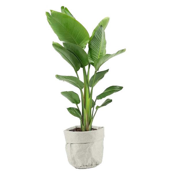 Strelitzia Nicolai in plantenzak