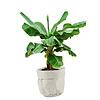 Bananenplant Musa in plantenzak