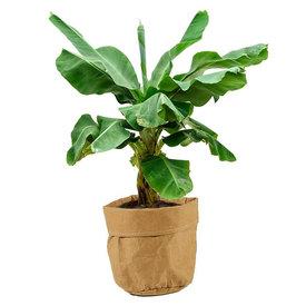Fleur.nl - Bananenplant Musa in plantenzak