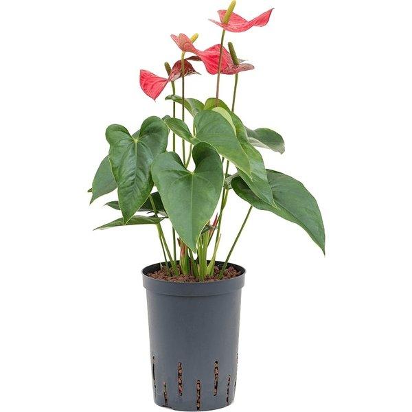 Anthurium Sierra - hydrocultuur