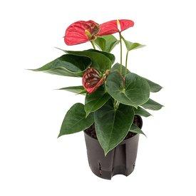Fleur.nl - Anthurium Sierra - hydrocultuur