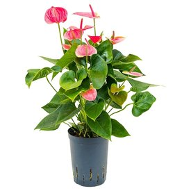Fleur.nl - Anthurium Sweet Dream - hydrocultuur