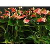 Anthurium Sweet Dream - hydrocultuur