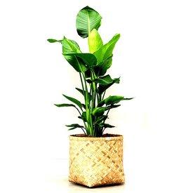 Fleur.nl - Strelitzia Nicolai in bamboo pot