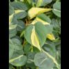 Philodendron Grand Brasil