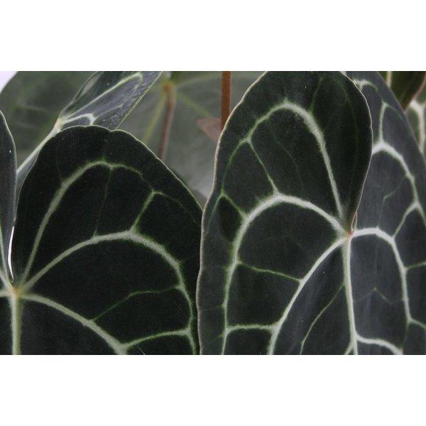 Anthurium Clarinervium Medium
