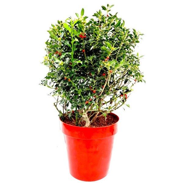 Ilex aquifolium 'Alaska' Hulst