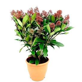 Fleur.nl - Skimmia japonica 'Rubella'