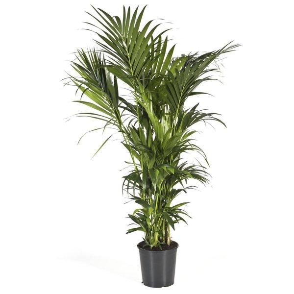 Palm Kentia Howea XXL