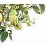 Citroenboom variagata bont