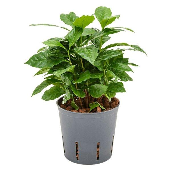 Coffea arabica - hydrocultuur