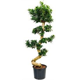 Fleur.nl - Ficus Bonsai Microcarpa Compacta XL - hydrocultuur