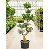 Ficus Bonsai Microcarpa Compacta XL - hydrocultuur