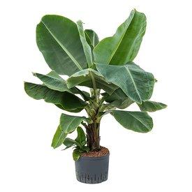 Fleur.nl - Bananenplant Musa Dwarf - hydrocultuur
