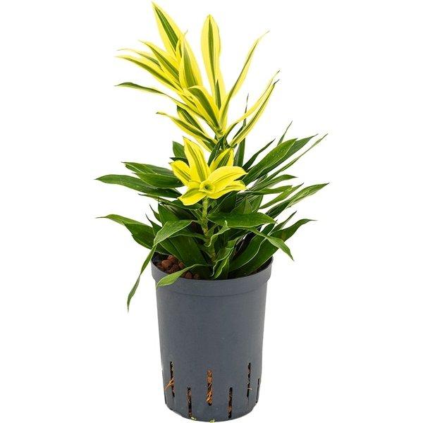 Pleomele Song of Sri Lanka - hydrocultuur
