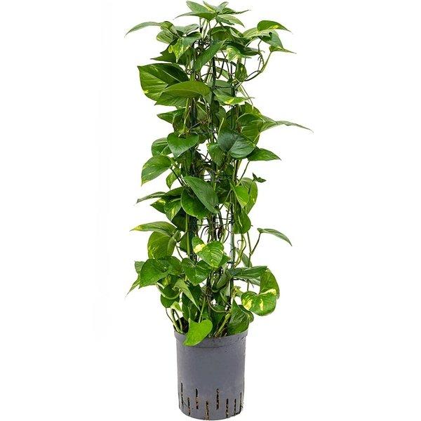 Scindapsus Aureum draadzuil - hydrocultuur
