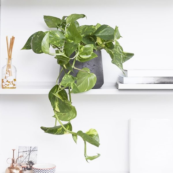 Scindapsus Aureum Hangplant