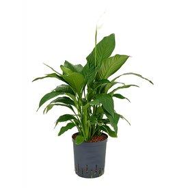Fleur.nl - Spathiphyllum Gokyo - hydrocultuur