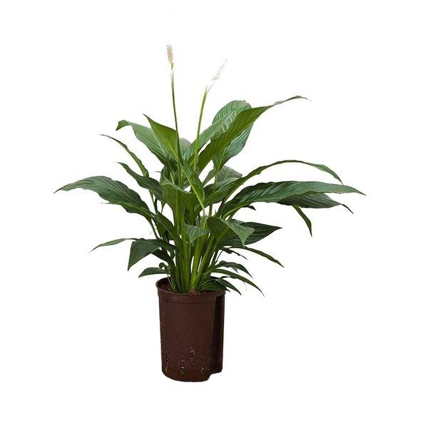 Spathiphyllum Mont Blanc - hydrocultuur
