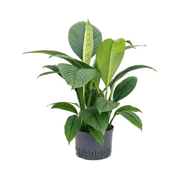 Spathiphyllum Sensation - hydrocultuur