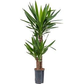 Fleur.nl - Yucca 2-stam - hydrocultuur